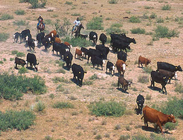 Southwestern cattle drive with cowboys on horseback