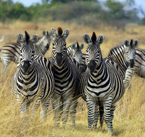 group of zebras on the open African plains