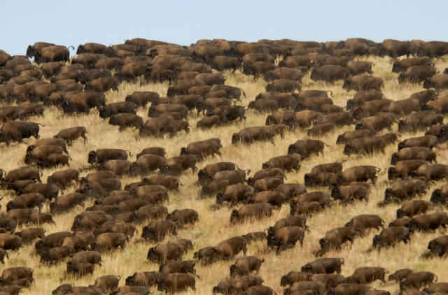 Herd of buffalo on a grassy Southwestern plain