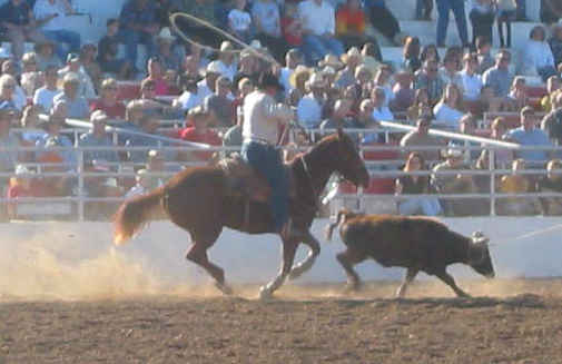 cowboy roping a steer at the rodeo