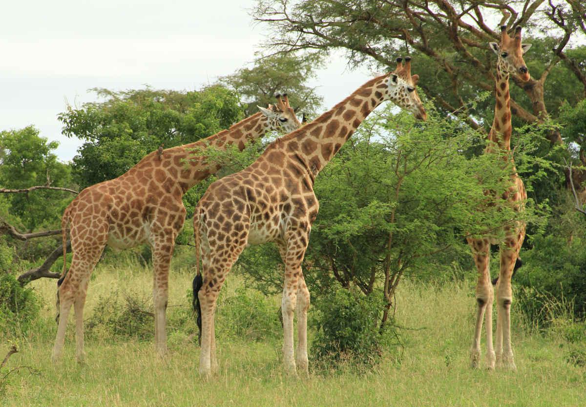 African Safari Wild Animals Fabric